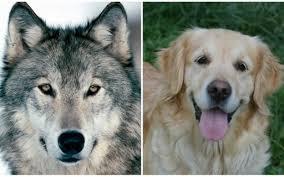 Humanos fizeram com que cães fossem mais submissos entre si - Revista  Galileu | Ciência