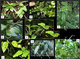 Leaf Mimicry in the Climbing Plant Boquila trifoliolata Pictures of the...  | Download Scientific Diagram